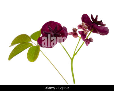 Small male and large female flowers of the chocolate vine, Akebia quinata, isolated on a white background - Stock Image