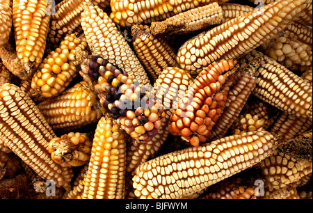 Corn cobs in a farm in Lanzarote, near Tepotzotlan, Mexico, December 3, 2007. Photo/Chico Sanchez - Stock Image