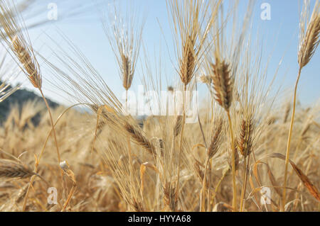 A wheat field in Patara, on the mediterranean coast of Turkey. - Stock Image