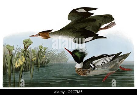 Red-breasted Merganser, Mergus serrator, birds, 1827 - 1838 - Stock Image