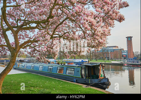 Narrow boat moored in Bancroft Basin, Stratford upon Avon, under a magnolia tree in full bloom and overlooked by - Stock Image