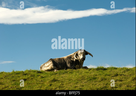 photograph of longhorn bull looking at camera resting on sunny day - Stock Image