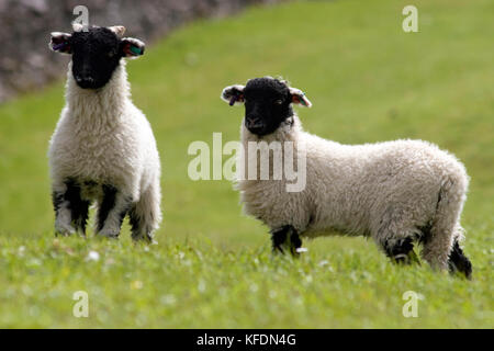 pair of black faced Swaledale lambs standing in pasture, Yorkshire Dales, England - Stock Image