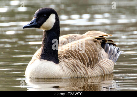 Canad Goose on a pond in the New Forest Hampshire UK - Stock Image