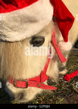 Falabella miniature horse grazing on grass and wearing a Santa Christmas hat - Stock Image