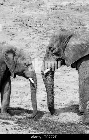 Black and white, photograph of two African elephants, mother and baby together outside in the sunshine. - Stock Image