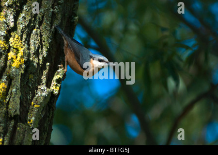 A Eurasian nuthatch (Sitta europaea), male, seen in the West Midlands, UK - Stock Image