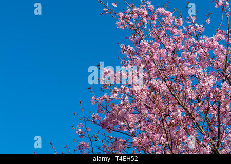 Spring blossom of Japanese pink rose sakura tree, floral background with blue sky copy space - Stock Image