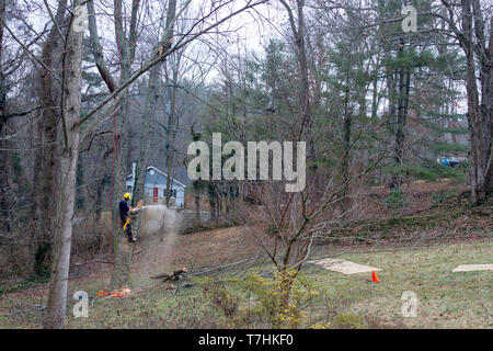An arborist is roped in an old cherry tree while using a chain saw to take it down on a winter's day - Stock Image