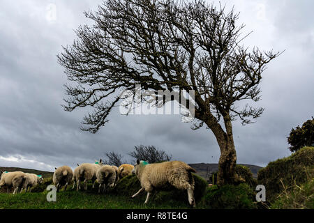 Ardara, County Donegal, Ireland. 17th December 2018. Sheep in hills above the village take shelter by a hedge on a cold, windy day with heavy rain showers on the north-west coast. Credit: Richard Wayman/Alamy Live News - Stock Image