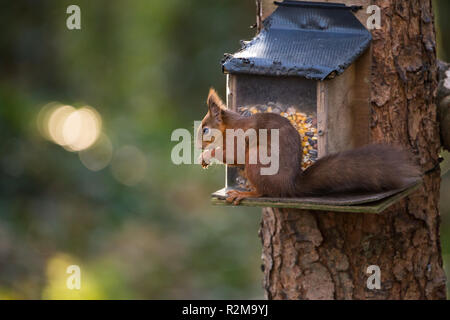 Red Squirrel  (Sciurus vulgaris) eating next to a feeder attached to a tree. - Stock Image