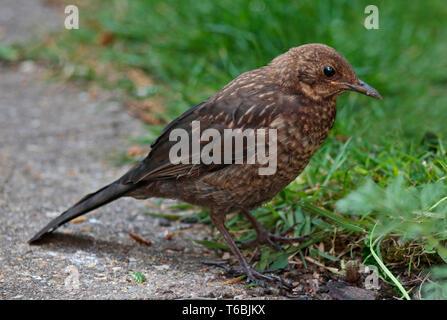 Blackbird Fledgling (turdus merula) - Stock Image