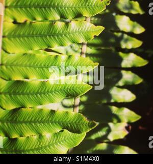 Fern - Stock Image