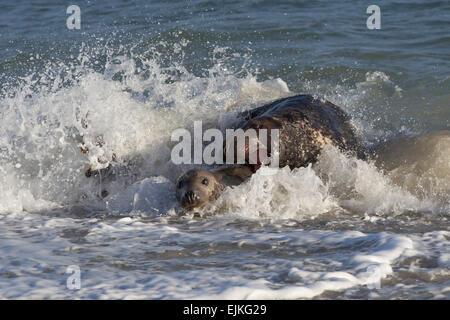 Grey Seal, Kegelrobbe, Halichoerus grypus, Helgoland, bull trying to bite female - Stock Image