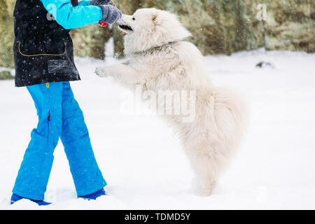 Samoyed dog of white color plays with a toy and a girl - Stock Image