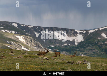 Rain storm and bull elk over tundra Rocky Mountain National Park Colorado - Stock Image