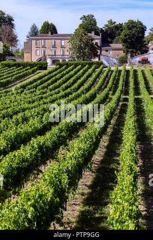 Wine Production - Rows of vines in a vineyard in the Dordogne region of France - Stock Image