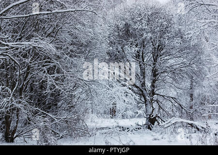 winter forest covered snow - Stock Image
