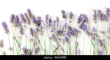A panorama of blooming fresh lavender flowers on a white background with a place for text - Stock Image