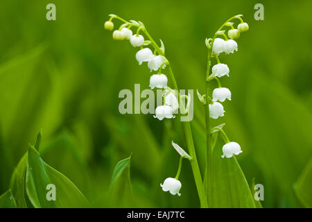 The lilies of the valley, small flowers, nature closeup - Stock Image