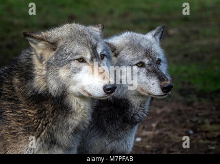 Alpha male (left) and female grey (gray) wolf(Canis lupus), aka thetimber wolf orwestern wolf. - Stock Image