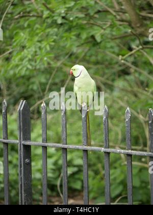 Green necked Parakeet - Psittacula Krameri perched on railings in Hyde Park, London UK - Stock Image