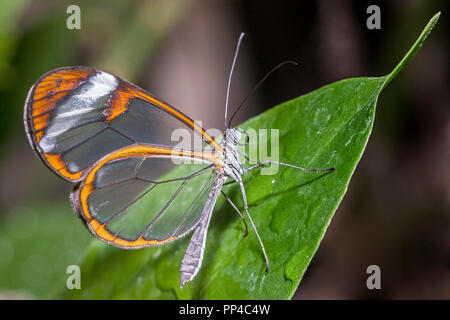 Glasswing Butterfly (Greta oto) - Stock Image