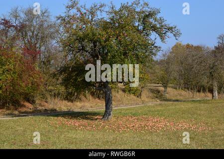 Domestic Apple (Malus domestica). Because of long-lasting drought, the trees on an orchard have dropped almost all fruits. Germany - Stock Image