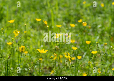 Creeping Buttercup - Stock Image