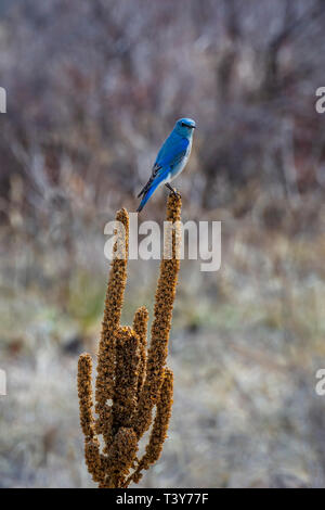 Female Mountain Bluebird (Sialia mexicana) resting on last summer's Mullein plant, Castle Rock Colorado US. Photo taken in April. - Stock Image