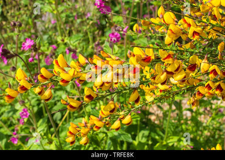 Yellow and red flowers on a Cytisus Scoparius, a perennial leguminous shrub also known as Common Broom, Scotch Broom and English Broom - Stock Image