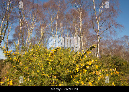 Common Gorse, Ulex europaeus, under Silver Birch trees, Betula pendula, on Iping Common, Sussex, UK. - Stock Image