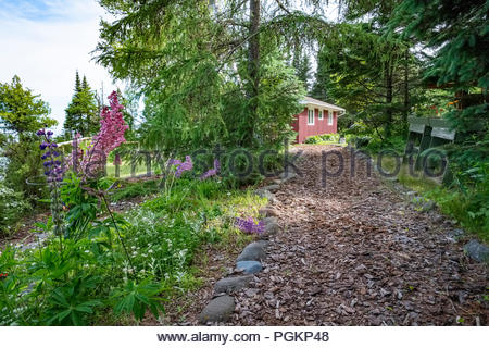 Lupin flowers bloom on walkway to a cabin located a short walk from Lake Superior, near Lutsen, Minnesota, USA. - Stock Image