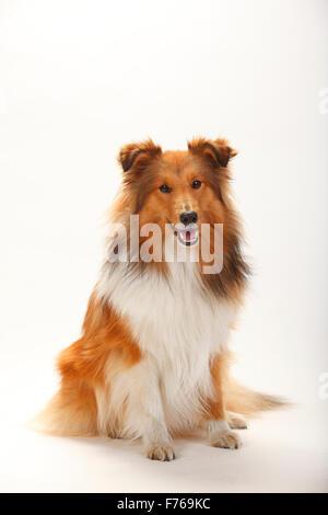 Sheltie, sable-white|Sheltie, Ruede, sable-white - Stock Image