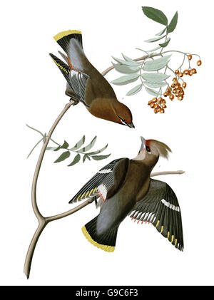 Bohemian Waxwing, Bombycilla garrulus, birds, 1827 - 1838 - Stock Image
