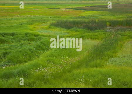 Wet meadow vegetation at Mormon Lake near Dairy Springs, in Coconino National Forest, south of Flagstaff, Arizona, - Stock Image