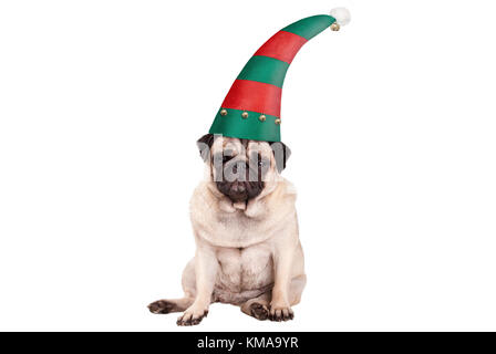 grumpy faced pug puppy dog with elf hat for Christmas, sitting down, isolated on white background - Stock Image