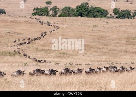 Water buffalo migrating along the Savannah. Kenya, Africa. - Stock Image