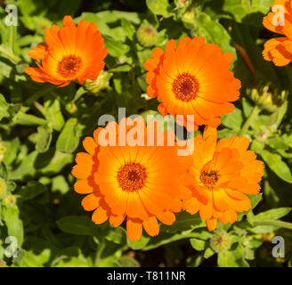 A close up of English Marigold flowers (Calendula Officinalis -an herbaceous perennial plant of the Calendula genus of family Asteraceae family) - Stock Image