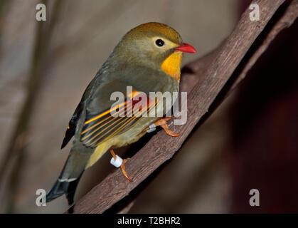 Pekin Robin (leiothrix lutea) - Stock Image