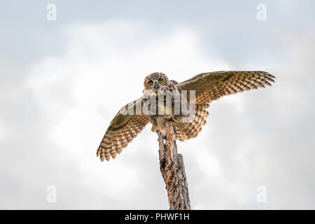 A juvenile female fledgling Great Horned Owl, Bubo virginianus, landing on top of a dead tree in Oklahoma, USA. - Stock Image