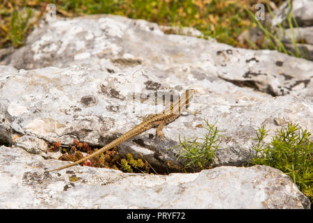 Lizard in the mountains - Stock Image