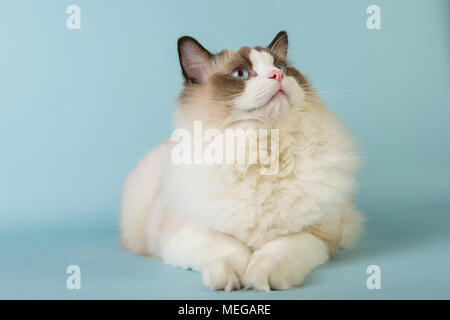 regdoll male cat looking up on blue background - Stock Image