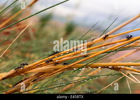 Namib desert dune ant (Camponotus detritus) - Stock Image