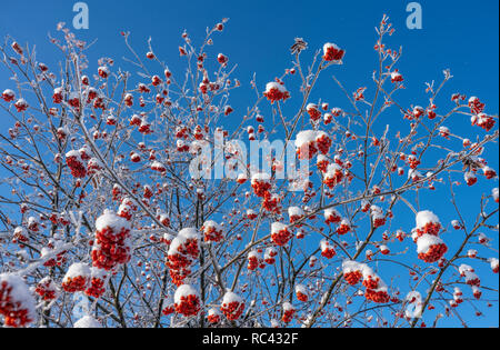 bright red bunches of Rowan covered with snow against a blue sky - Stock Image