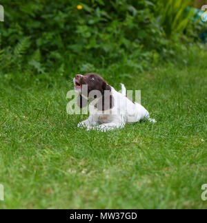 A puppy English Springer Spaniel laying down and barking. - Stock Image
