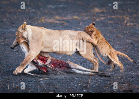 Lion cub (Panthera leo) playfully attacking its mother as she drags her puku antelope prey across burnt Busanga Plains, Kafue National Park, Zambia. Vulnerable - Stock Image