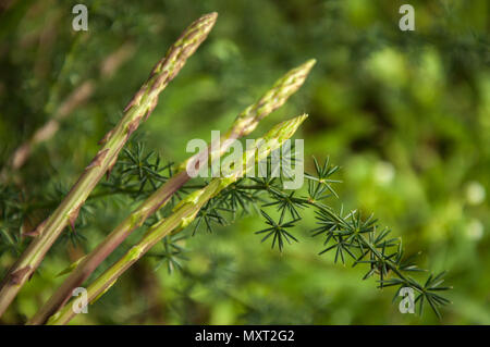 Wild asparagus plant in the forest - Stock Image