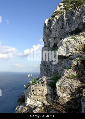 Alpine flower grips the limestone side of the Rock of Gibraltar - Stock Image