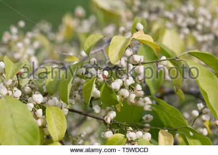 Euonymus hamiltonianus 'Popcorn' berries in Autumn. - Stock Image